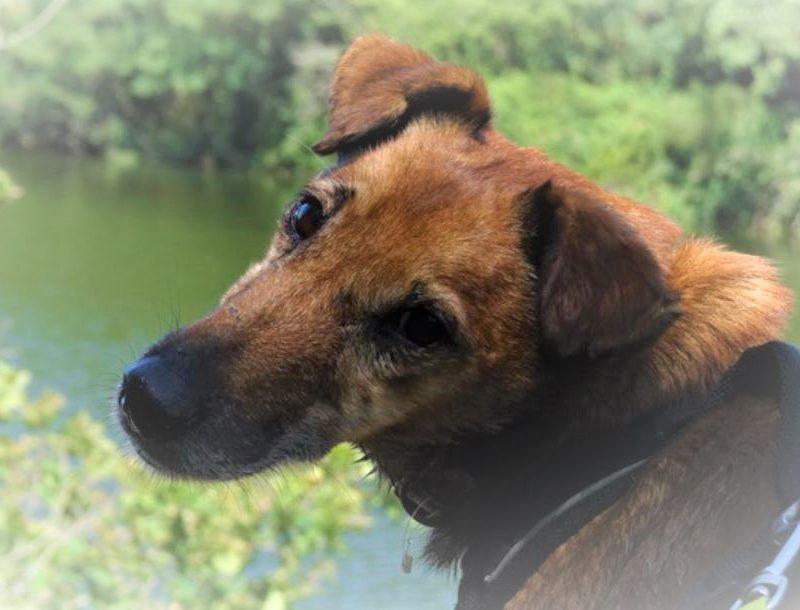 Chico mâle croisé Terrier 6 ans