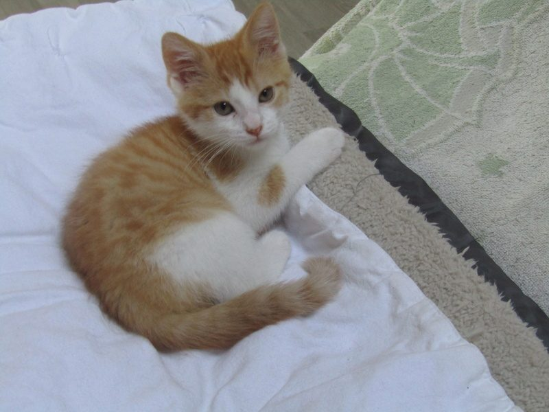 NOOKI – chaton roux 2 mois