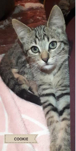 COOKIE – 3 mois chaton timide