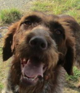 Coraya femelle Griffon Korthal 7 ans