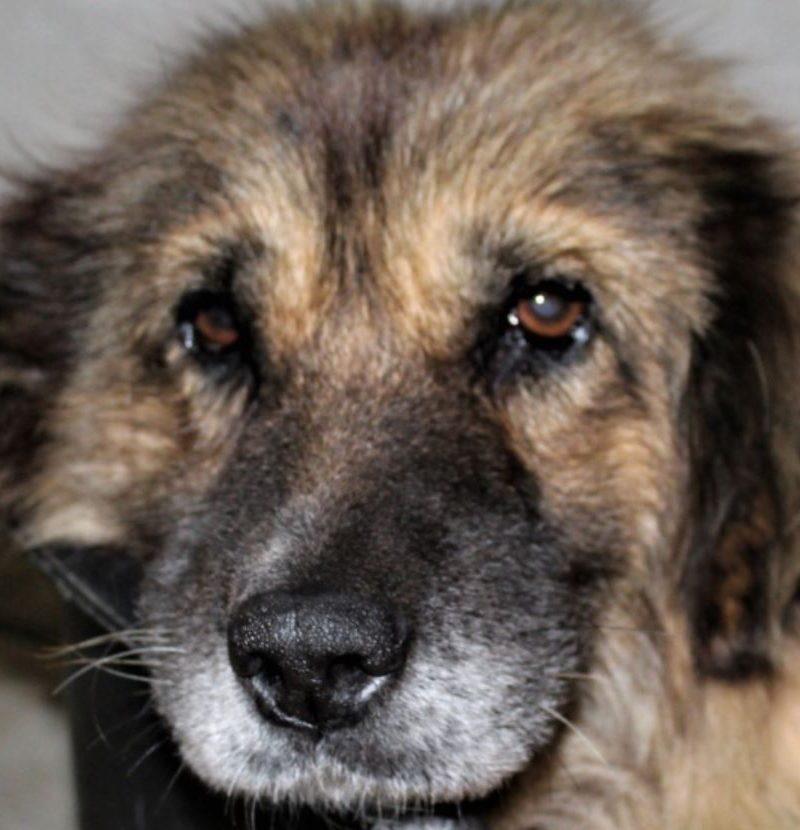 Cukka chienne croisée Sharplanimatz 9 ans