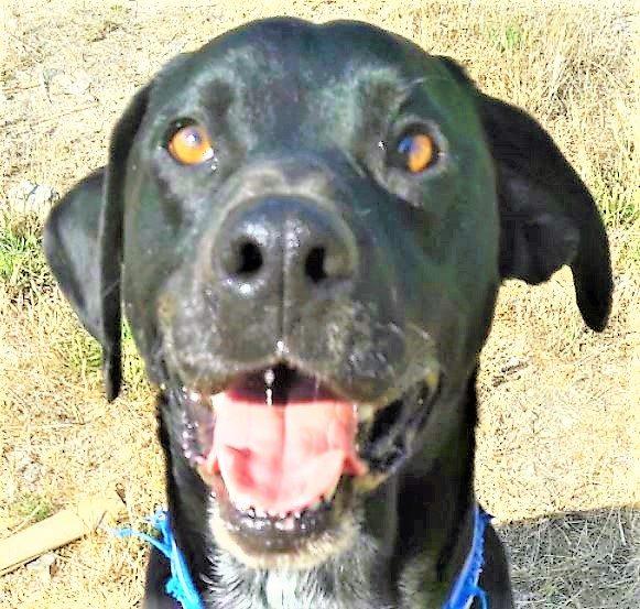 Dewey mâle croisé Labrador 4 ans et demi
