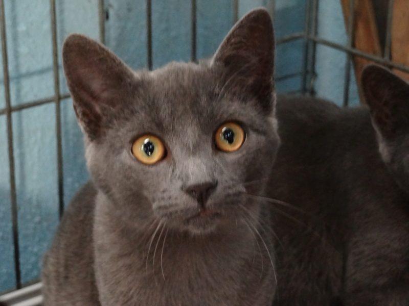 COCO  – 7 mois – jeune chat câlin