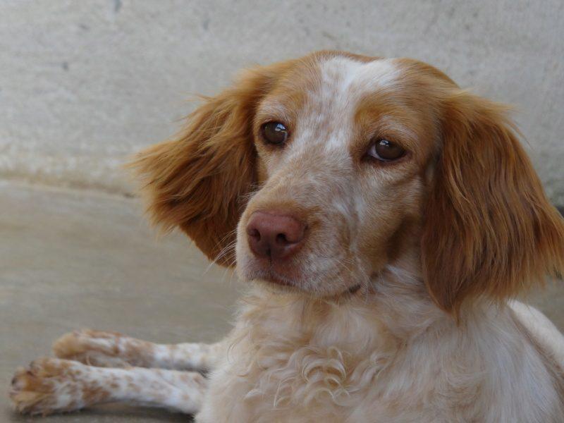 Stella femelle Epagneul Breton 3 ans et demi
