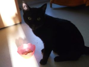 MAO - jeune chat noir adulte -