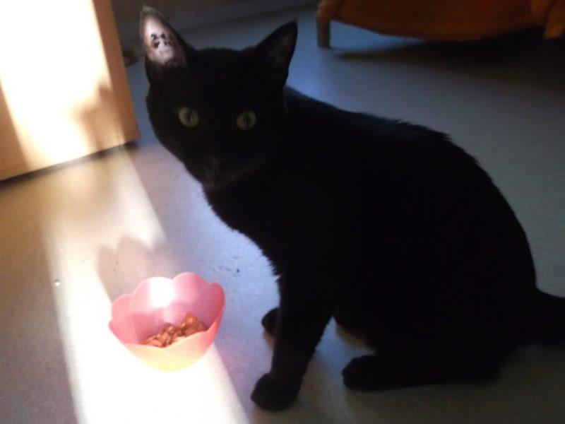 MAO – jeune chat noir adulte –
