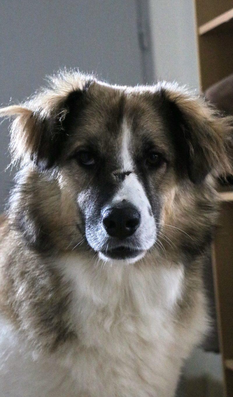 Duff chien mâle croisé Berger 4 ans