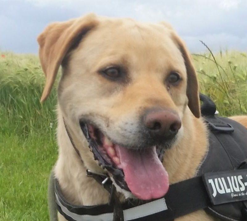 Ellias mâle Labrador 10 ans