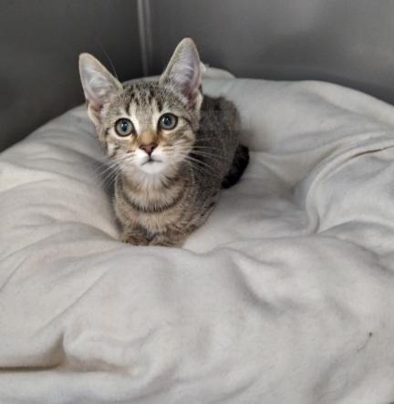 FARLAY – 3 mois – chatonne réveuse «sur son petit nuage»