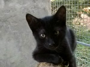 FELIX - 7 mois - chaton timide