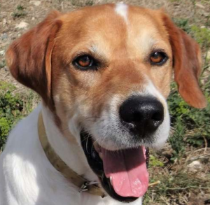Figaro mâle croisé Berger 4 ans