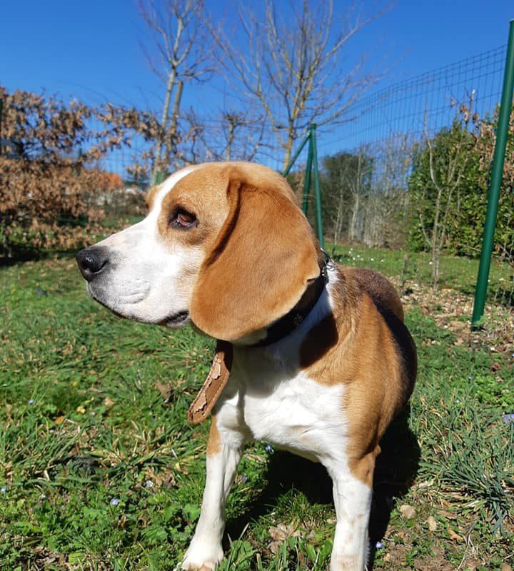 Flora femelle Beagle 8 ans et demi