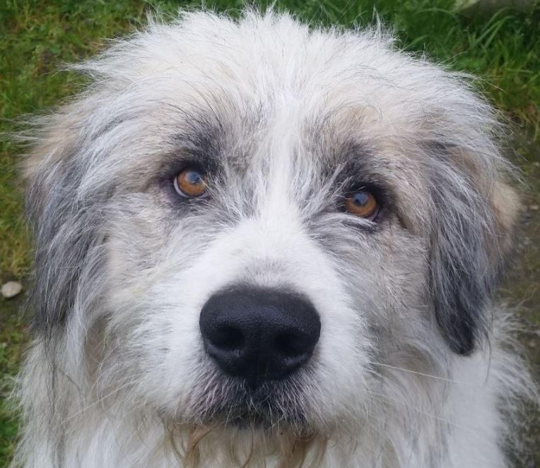 Flufy chien mâle croisé Berger 7 ans