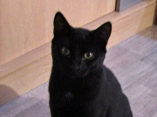 DOMINO – 6 mois – chaton dynamique