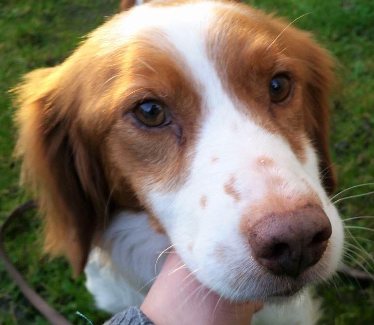 Gucci chien mâle Epagneul Breton 5 ans
