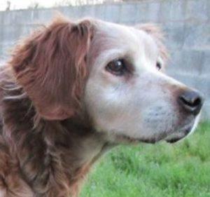 Happy chien femelle Epagneul Breton 8 ans