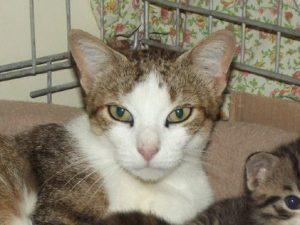 IROISE - 1 an - grande chatte bien douce