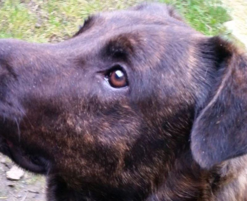 Joker chien mâle croisé Labrador/Berger 5 ans et demi