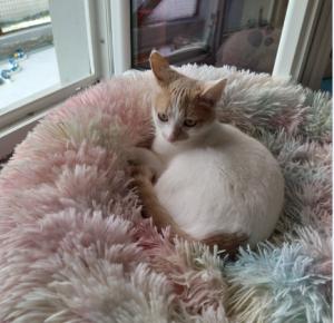 Juliette - née le 01/08/2018 - petite chatte curieuse et câline