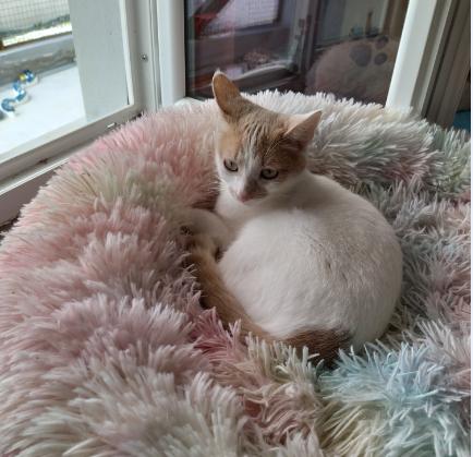 Juliette – née le 01/08/2018 – petite chatte curieuse et câline