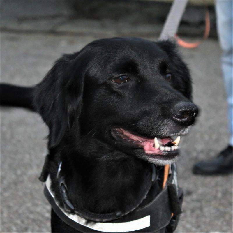Chipie (Jumpy) femelle croisée Labrador 6 ans