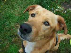 Junior mâle croisé Labrador/Boxer 4 ans