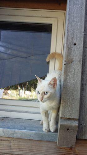JUNO – jeune chatte attachante