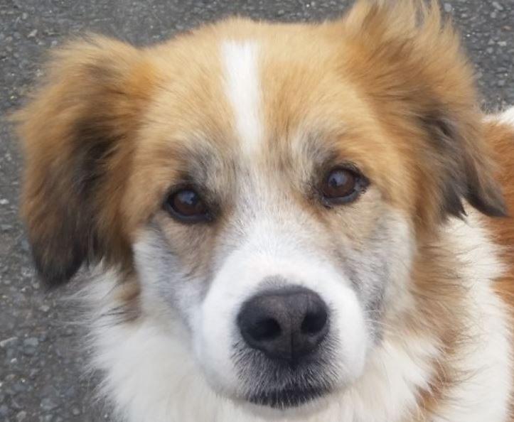 Kody chien mâle Berger 9 ans