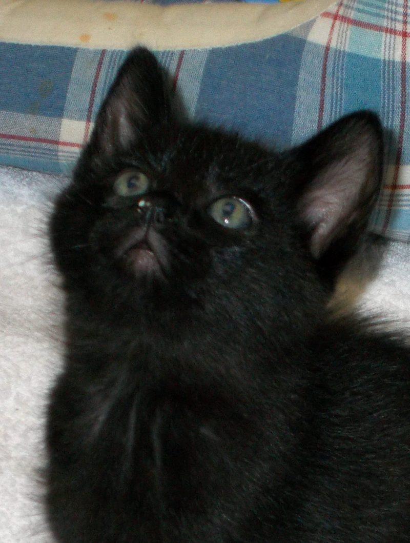 Wendy, Femelle, chatonne noire, 2 mois