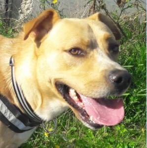 Label chien mâle croisé Labrador 3 ans