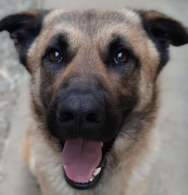 Laiko chien mâle croisé Berger Malinois 5 ans