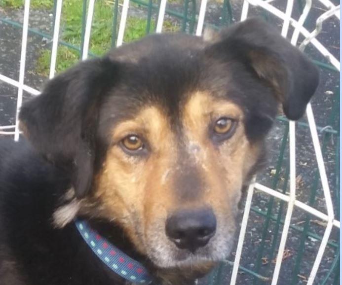 Les chien mâle croisé Berger 6 ans et demi