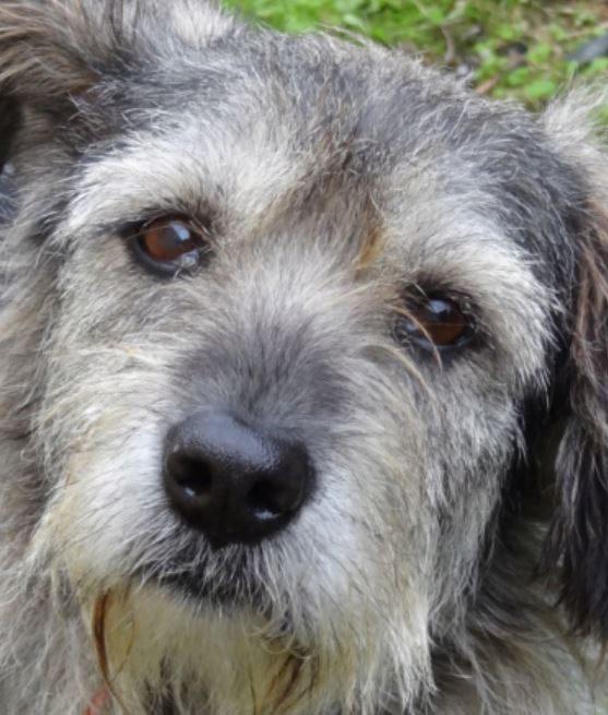 Louloue femelle croisée Griffon 8 ans