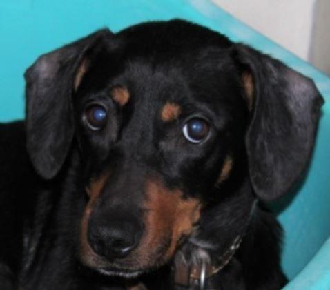 Louna femelle croisée Labrador/Beauceron 2 ans et demi