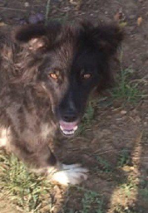 Lucy femelle croisée Berger 2 ans