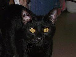 MAO -2 ans – jeune chat noir adulte –