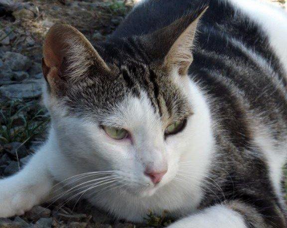 MARGUERITE – 2 ans – chatonne toute fine