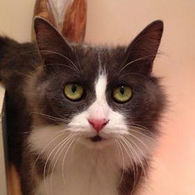 Misty  à poils long, grise et blanche. Elle a approximativement 18 mois.