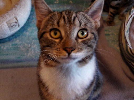 MOÏSE – 1 an – jeune chat discret