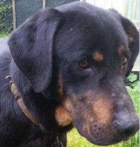 Moulouk chien mâle croisé Beauceron 3 ans