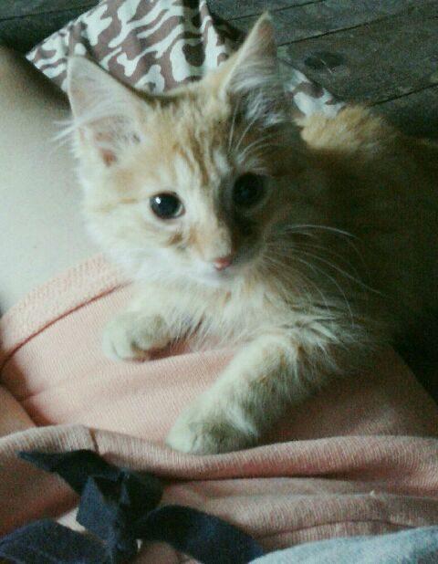 MUSCA – 3 mois 1/2 – chaton joueur