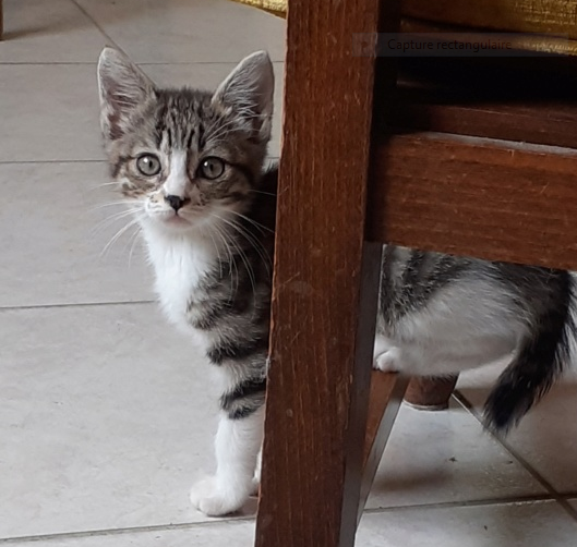 NESS – 2 mois – chatonne indépendante, joueuse