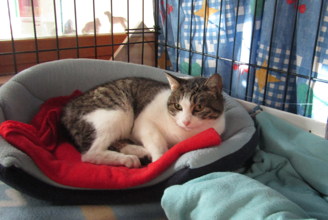 NETTY – 2 ans – jeune chatte timide