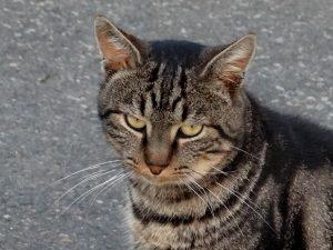 NORMAN - 4 ans - gentil chat vagabond