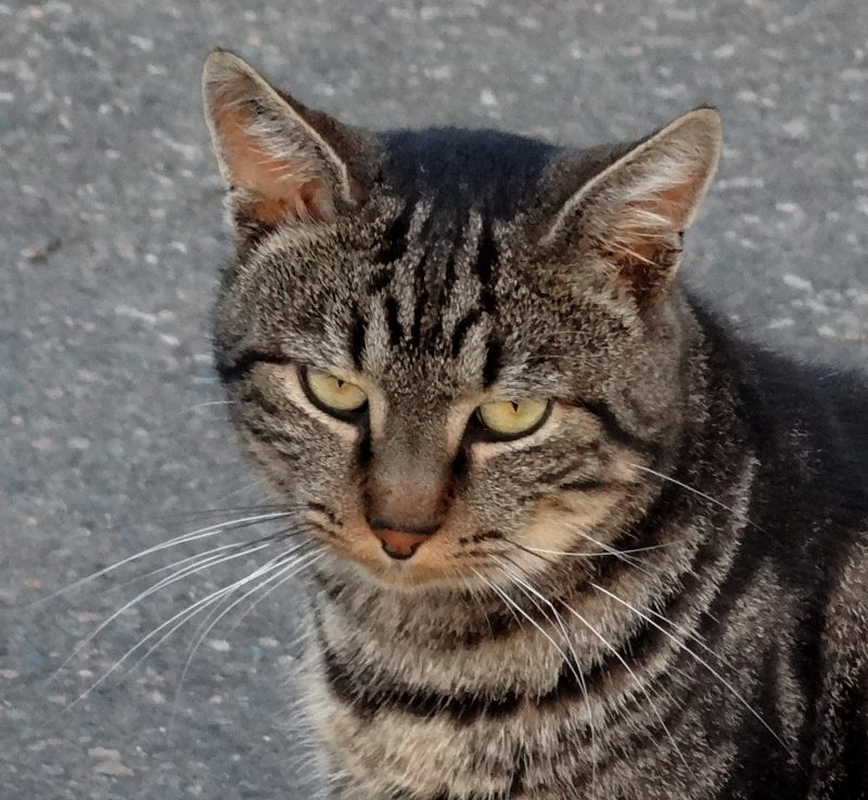 NORMAN – 4 ans – gentil chat vagabond