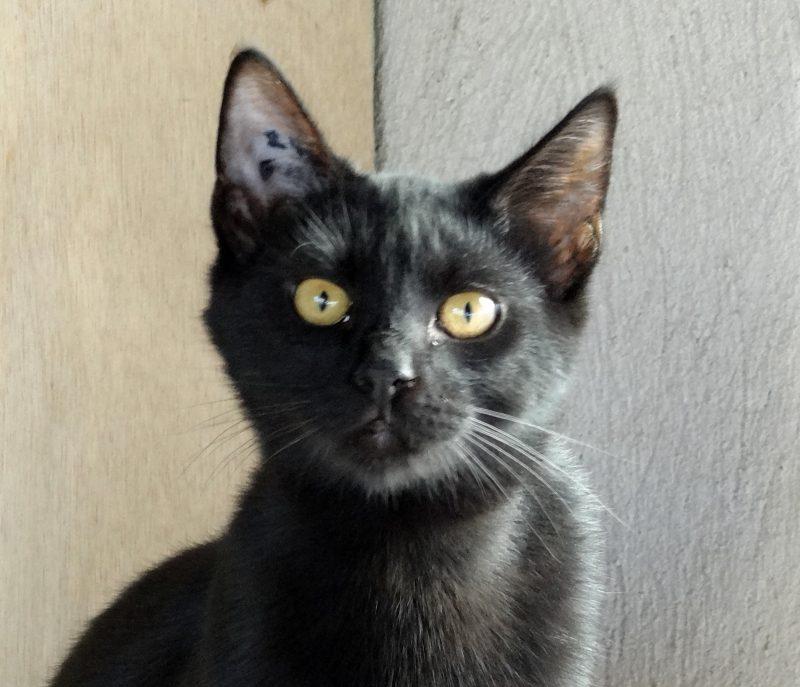 OBAMA – 8 mois – chaton très curieux