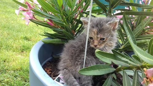 OLANA – aventureuse chatonne gris clair – 5 semaines
