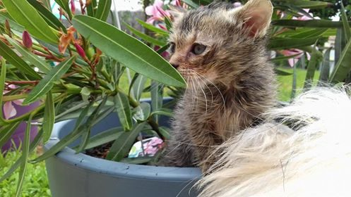 OLI – chatonne câline – tigrée – 5 semaines