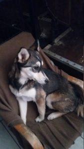 Onaï chiot femelle croisé Husky/Setter 5 mois