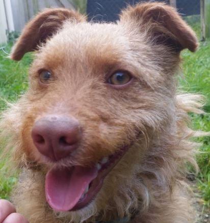 Opla chien mâle croisé Yokshire/Fauve de Bretagne 2 ans